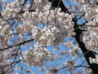 靖国神社境内の桜。