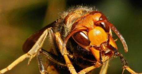 asian-giant-hornet.jpg