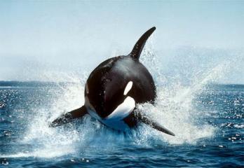 orca-killer-whale.jpg