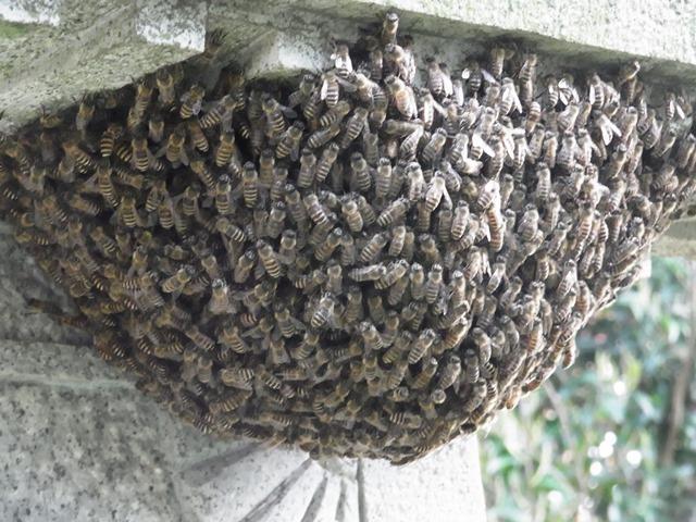 201304 ミツバチ 分蜂3