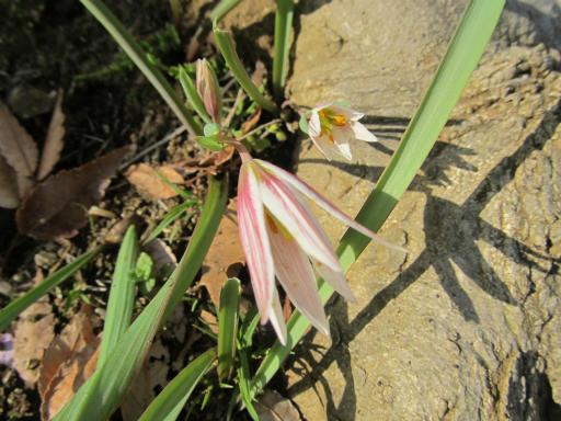 20120401・春の花13・アマナ