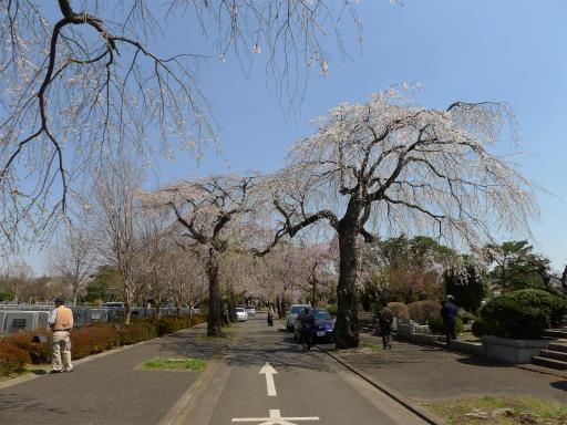 20120408・多磨霊園L10
