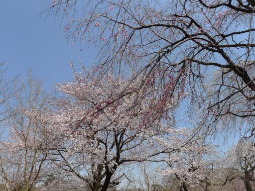 20120408・多磨霊園L09