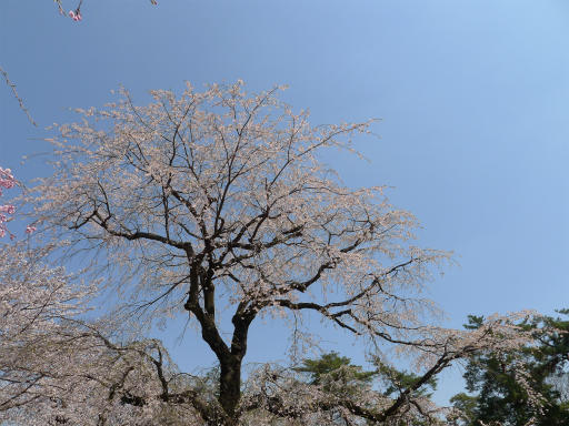 20120408・多磨霊園L07