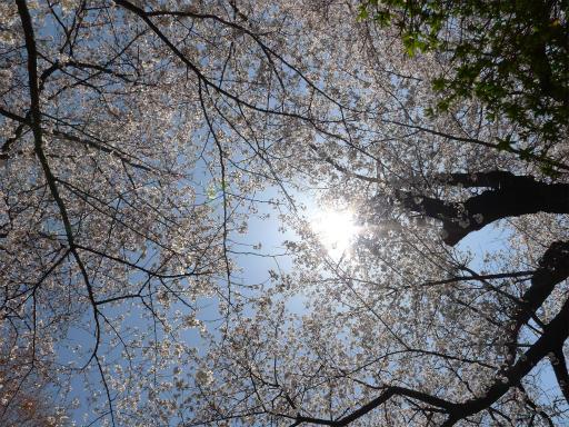 20120408・多磨霊園L15