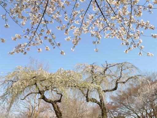 20120408・多磨霊園L19