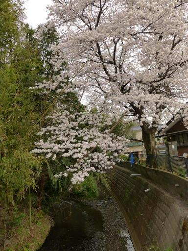 20120410・近所の桜1-06