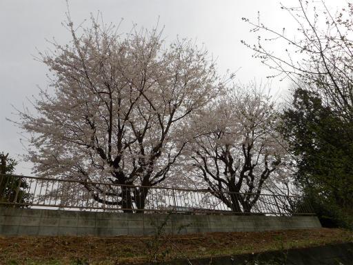 20120410・近所の桜1-01