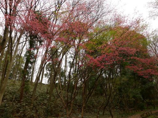 20120410・近所の桜1-11
