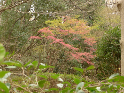 20120410・近所の桜1-10