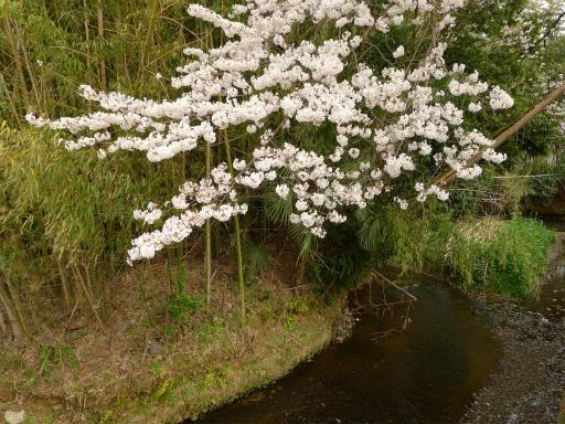 20120410・近所の桜1-07