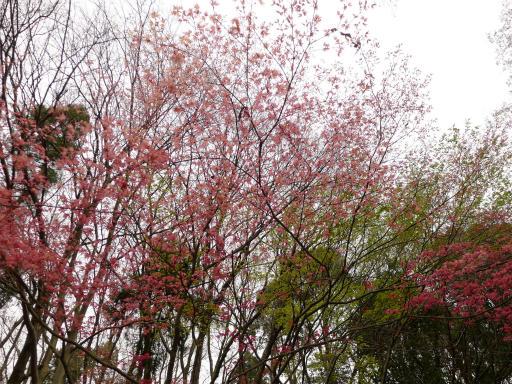20120410・近所の桜1-14