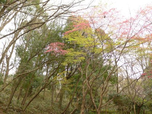 20120410・近所の桜1-13