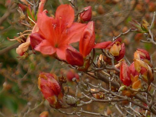 20120410・近所の桜2-08