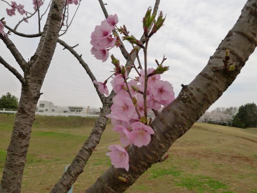 20120410・近所の桜2-21