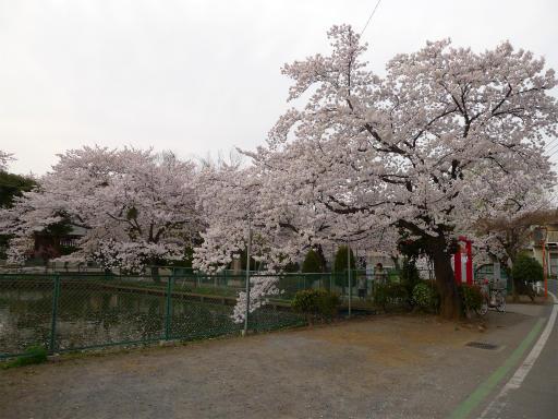 20120410・近所の桜3-10