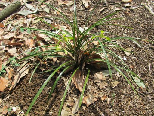 20120415・緑の森1-05・シュンラン