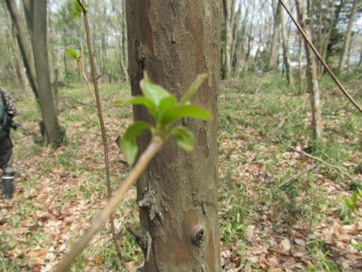20120415・緑の森1-03・リョウブ