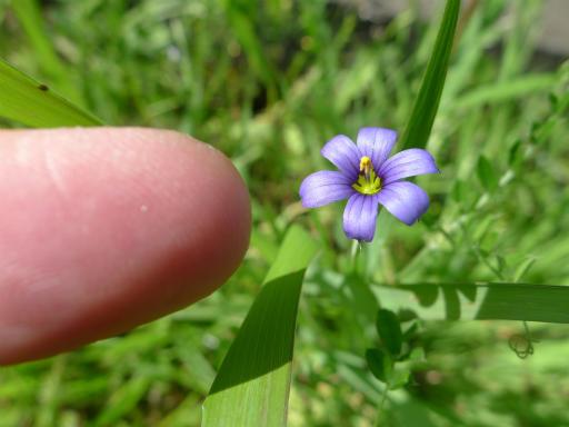 20120513・午後の散歩03-1・藍色庭ゼキショウ