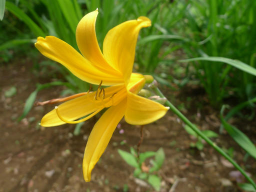20120526・花58・ムサシノキスゲ