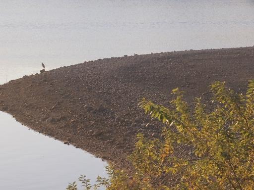 20141115・狭山湖の鳥大04・アオサギ