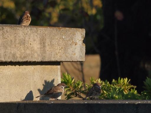20141115・狭山湖の鳥大03