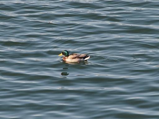 20141115・狭山湖の鳥大02