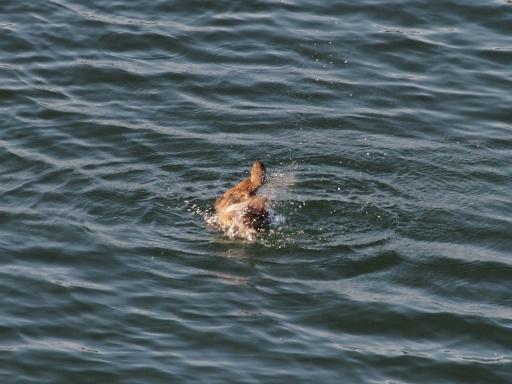 20141115・狭山湖の鳥大01