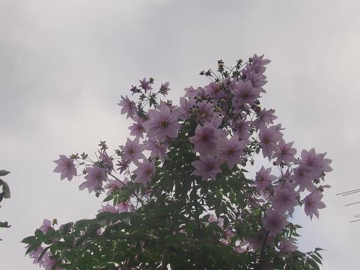 20141130・荒幡富士散歩1-13・キダチダリア