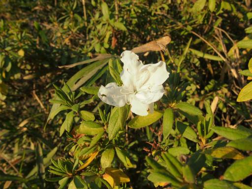 20141115・狭山湖植物5・ツツジ