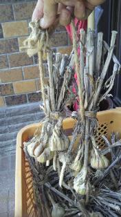 にんにくの種 (2)