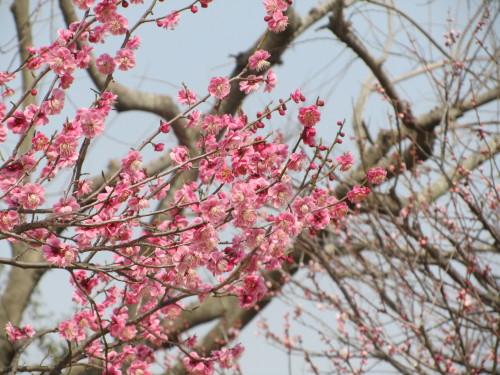 梅の木0001_1