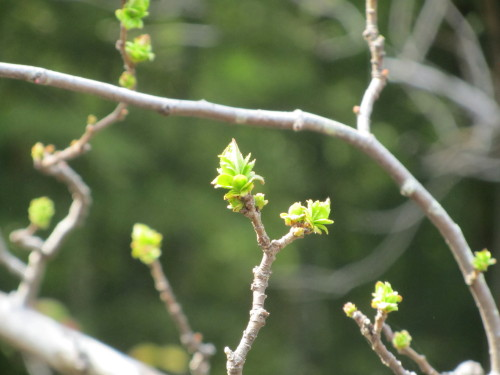 木の芽0001