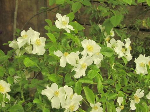 庭バラ0001