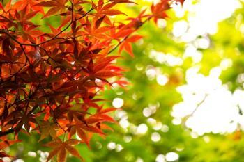 PPU_akakukouyoushitamomiji500.jpg