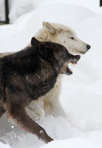 旭山オオカミ-5