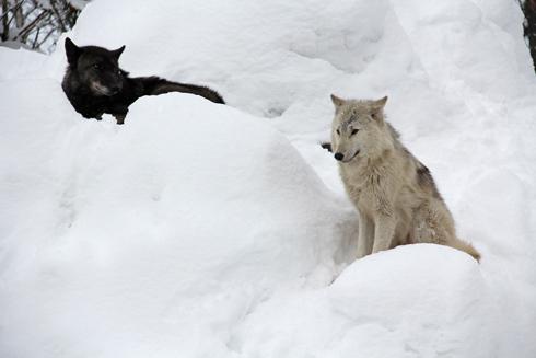 旭山オオカミ-6