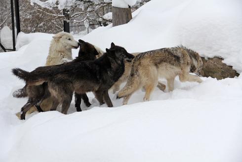 旭山オオカミ-3
