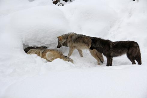 旭山オオカミ-4