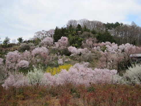 花見山2012-9
