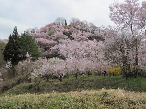花見山2012-7