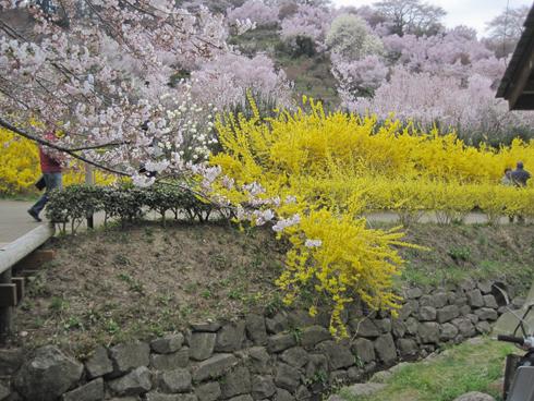 花見山2012-5
