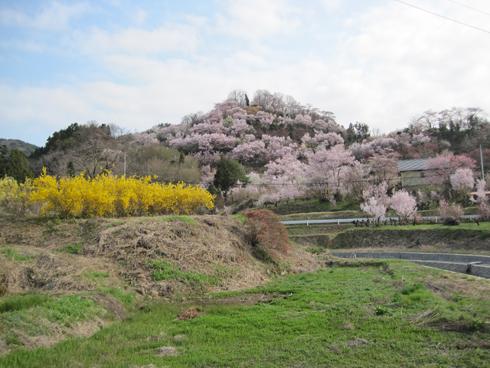 花見山2012-4
