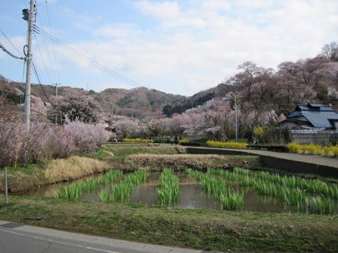 花見山2012-3