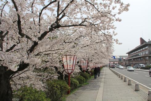 弘前桜2012-2