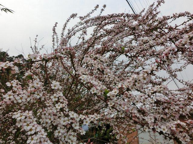 ピンクの雪柳