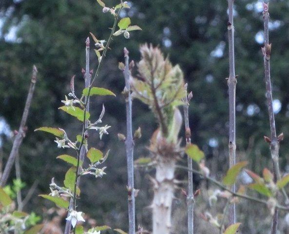 裏山のタラの芽1