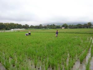 rice field @ nimmanhemin road