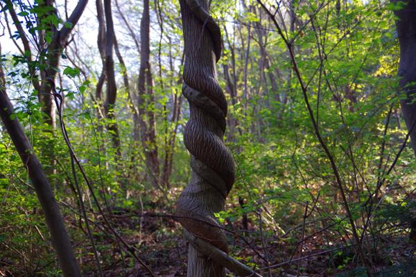 蛇のような木