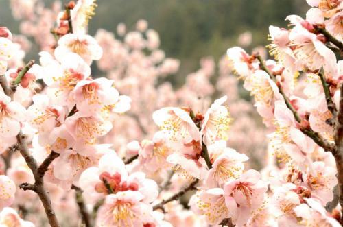 梅の花3-1s